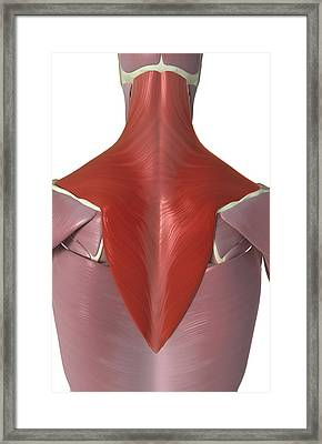 Trapezius Muscle Framed Print by MedicalRF.com