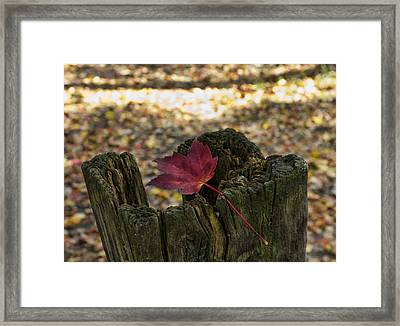 Trapped Maple Leaf Framed Print