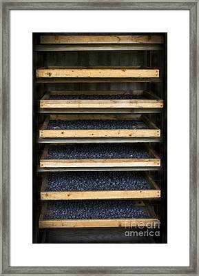 Trays Of Blueberries Framed Print
