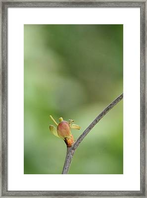 Framed Print featuring the photograph Tree Bud by Peg Toliver