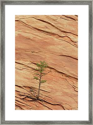 Tree Clinging To Sandstone Formation Framed Print by Gerry Ellis