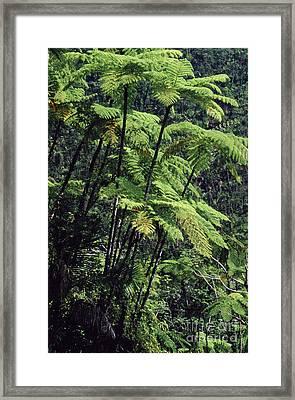 Tree Ferns El Yunque Framed Print by Thomas R Fletcher