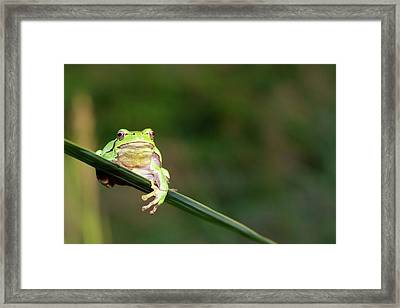 Tree Frog Framed Print by Aaa