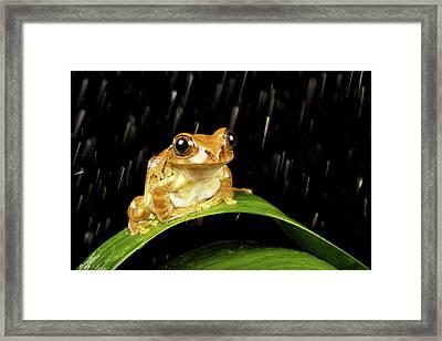 Tree Frog In Rain Framed Print by MarkBridger