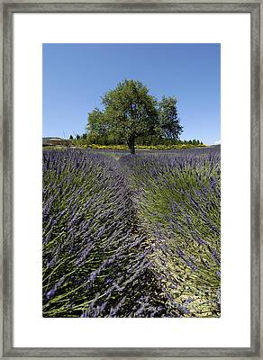 Tree In A Field Of Lavender. Provence Framed Print by Bernard Jaubert