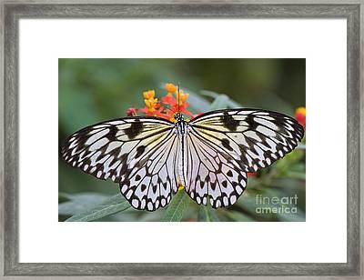 Tree Nymph Butterfly Framed Print by Jacky Parker