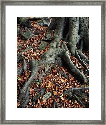 Tree Roots Of A Beech Tree Framed Print by Adrian Bicker