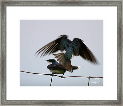 Tree Swallows Courtship Framed Print