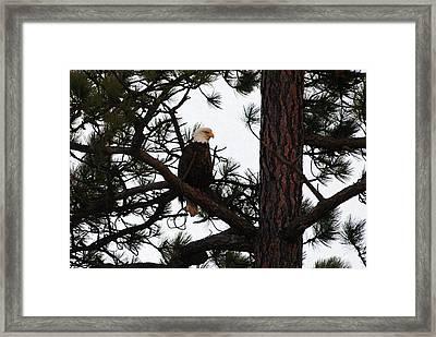 Treed Eagle Framed Print by Don Mann