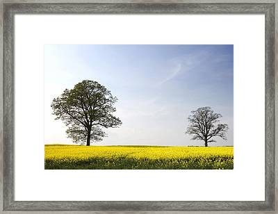 Trees In A Rapeseed Field, Yorkshire Framed Print by John Short
