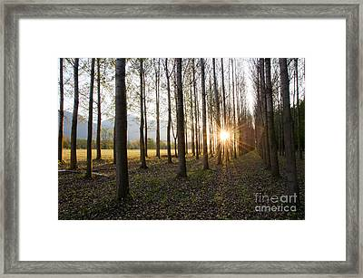 Trees In Alee With Low Sun Framed Print