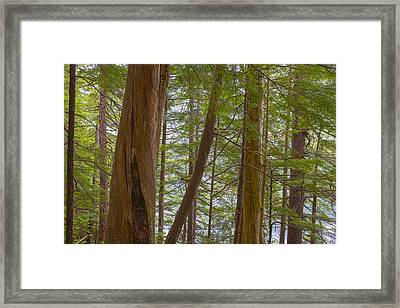 Trees In The Tongass Framed Print by Tim Grams