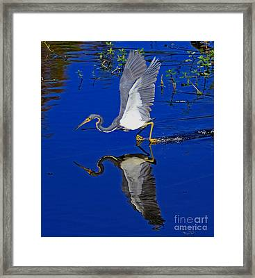 Framed Print featuring the photograph Tri-color Heron Water Ski by Larry Nieland