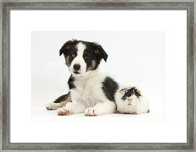 Tricolor Border Collie Pup And Guinea Framed Print by Mark Taylor
