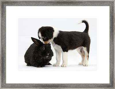 Tricolor Border Collie Pup With Black Framed Print by Mark Taylor