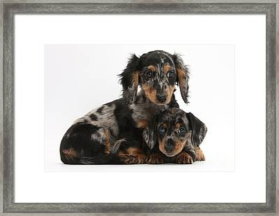 Tricolor Dachshund Puppies Framed Print by Mark Taylor