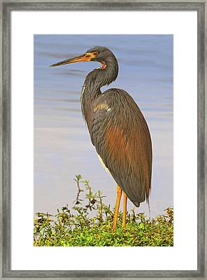 Tricolor Heron Framed Print by Dave Mills