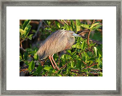 Tricolor Heron Framed Print by Jennifer Zelik