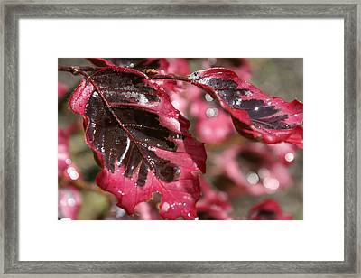 Tricolor Maple Framed Print by Margaret Steinmeyer