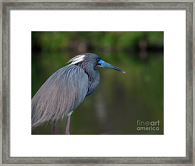 Framed Print featuring the photograph Tricolored Heron by Art Whitton