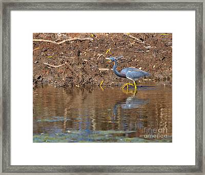 Tricolored Heron In The Winter Marsh Framed Print by Louise Heusinkveld