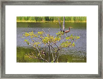 Tricolored Heron Tree Framed Print