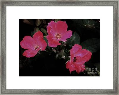 Trio Of Roses Framed Print by Marsha Heiken