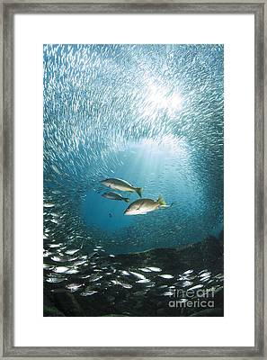 Trio Of Snappers Hunting For Bait Fish Framed Print by Todd Winner