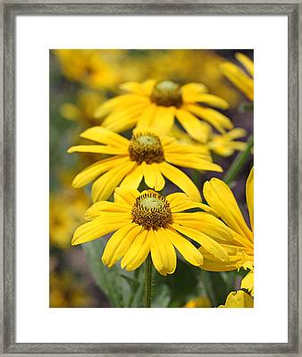 Trio Of Yellow Flowers Framed Print by Becky Lodes