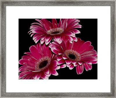 Triple Crown Framed Print by Fiona Messenger