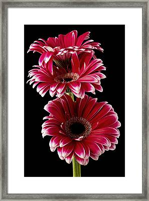 Triple Red Beauty Framed Print by Fiona Messenger