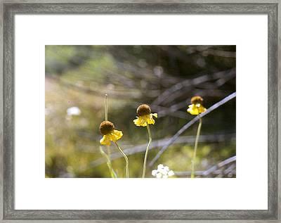 Triple Sneezeweed Framed Print by Chris Gudger
