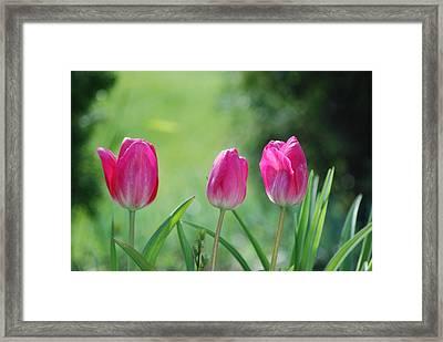 Triple Tulips Framed Print