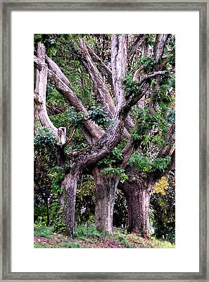 Triplet Trees Framed Print by Beverly Hammond