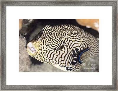 Tropecal Fish Pufferfish Framed Print by MotHaiBaPhoto Prints