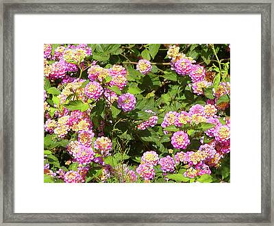 Framed Print featuring the photograph Tropical Lantana by Roena King