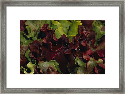 Tropical Pitcher Plant Sarracemia Framed Print