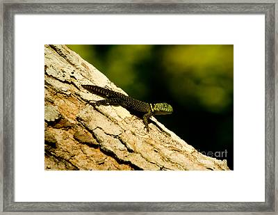 Tropical Thornytail Iguana Framed Print by Dant� Fenolio