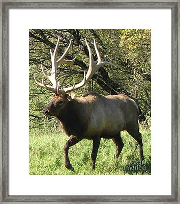 Trotting Elk  Framed Print by The Kepharts