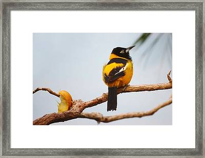 Troupial Bird Framed Print by Paulette Thomas