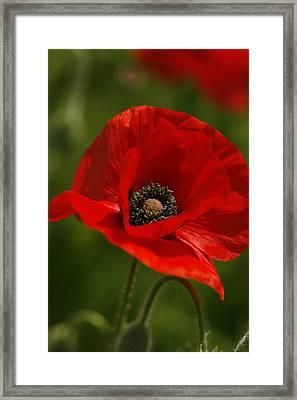 Truly Red Oriental Poppy Wildflower Framed Print