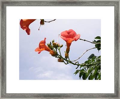 Trumpet Vine Framed Print by Kate Gallagher