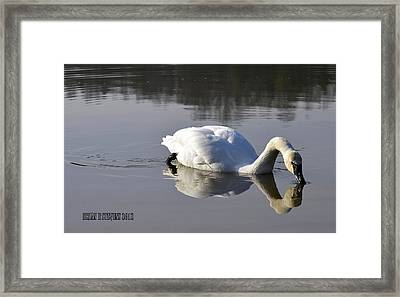 Framed Print featuring the photograph Trumpeter Swan by Brian Stevens