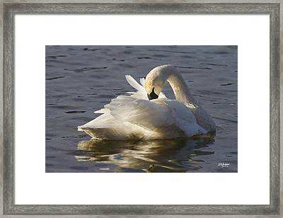 Trumpeter Swan Preening Framed Print
