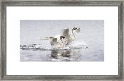 Trumpeter Swans Touchdown Framed Print