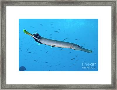 Trumpetfish Framed Print by Sami Sarkis