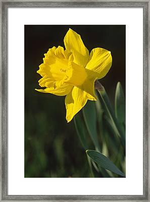 Trumpeting Daffodil Framed Print