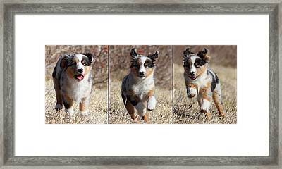 Tryptich Of Puppy Running Framed Print by Pat Gaines