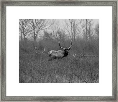 Tule Elk Bucks Merced County Ca Framed Print