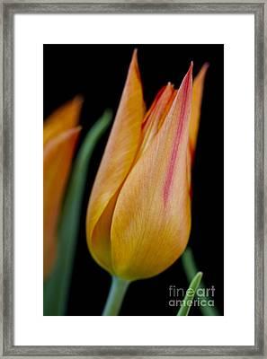 Tulip -5 Framed Print